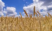Poljoprivrednici posijali više pšenice i uljane repice